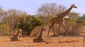 Les dernières girafes