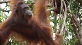 L'école des orangs-outans