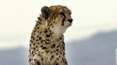 Fantômes du désert - Les derniers guépards asiatiques