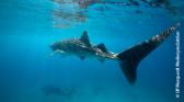 Les requins-baleines d'Oslob