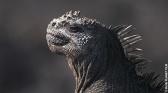 Le mystérieux déclin de l'iguane marin
