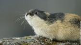 Merveilles nordiques : les Lemmings