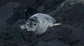 Phoques gris, les nouvelles odyssées