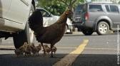 Planète des poules