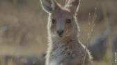 La vie secrète du kangourou