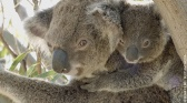 La vie secrète du koala