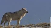 Yellowstone : le territoire des louves