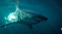 Requins non tueurs