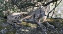 Sauver le lynx ibérique