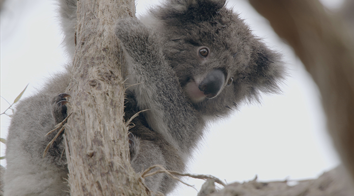 cycle_australie_koala.jpg