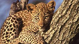 insaisissable_leopard_c_dr_8.jpg