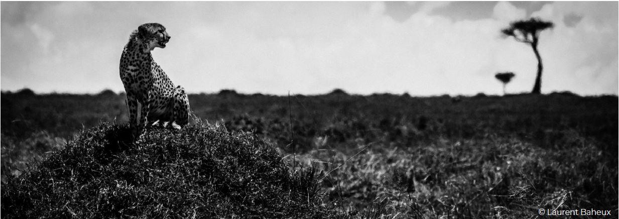 Félins noir sur blanc © Laurent Baheux