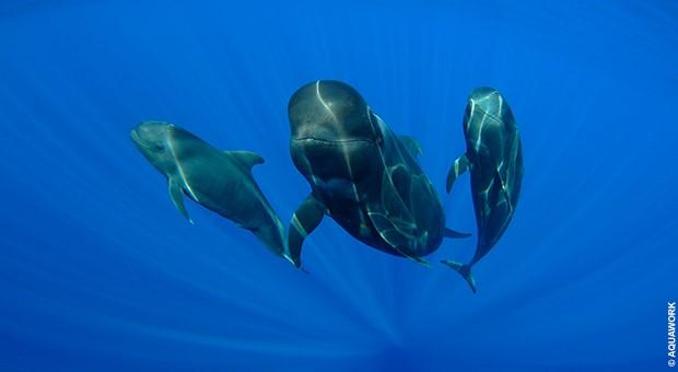 Plongée avec les baleines pilotes