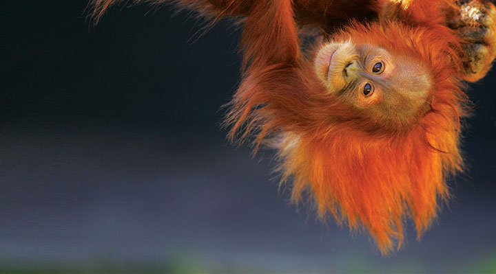 A l'école des orangs-outangs