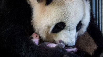 L'extraordinaire naissance du premier bébé panda en France