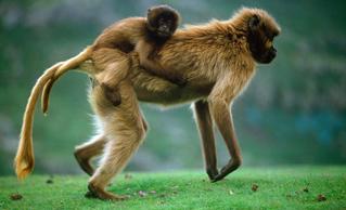 Le peuple singe, en mars sur Ushuaïa TV